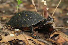 Ringed Map Turtle Turtles Of Ms Central Mississippi Houston Hobby Airport Map