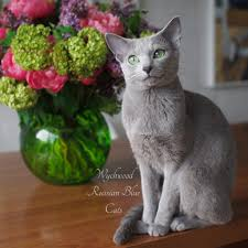 wychwood russian blue cats exclusively blending international