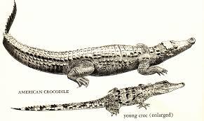 drawn crocodile american alligator pencil and in color drawn