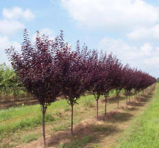 shade and flowering trees for sale in boise