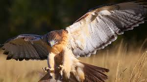 red tailed hawk san diego zoo animals u0026 plants