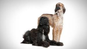 does an afghan hound shed afghan hound dog breed selector animal planet
