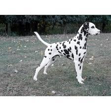 australian shepherd dalmatian mix dalmatian dog breeds dog com