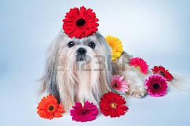 imagenes flores relajantes perro de shih tzu que miente con la decoración de la flor concepto