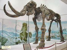 photos 40 000 mammoth autopsy extinct