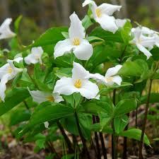 van zyverden woodland plant trillium grandiflorum roots 3 pack