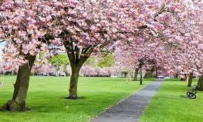 blossom trees trees with cherry blossom along a path through grass
