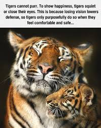Eye Of The Tiger Meme - tigers can t purr to show happiness they squint or close their