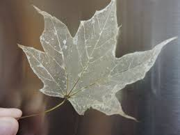 Skeleton Halloween Crafts Make Leaf Skeletons Now To Use In Your Halloween Decorations Next