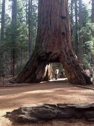 heavy rains topple iconic pioneer cabin tree at calaveras big