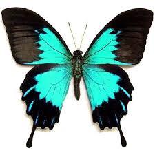 Blue And Green Butterfly - best 25 butterfly species ideas on butterflies of