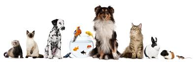 australian shepherd quiz what u0027s your perfect pet