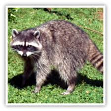 How To Get Rid Of Raccoons In Backyard Diseases From Raccoons And Other Wildlife King County