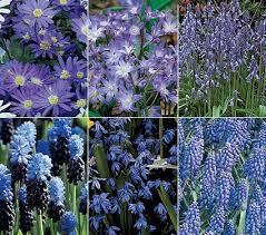 rhapsody in blue bulb mixture white flower farm flower farm and