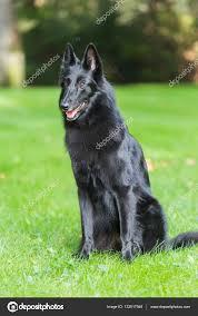 belgian sheepdog groenendael puppies beautiful groenendael dog puppy running in spring nature black