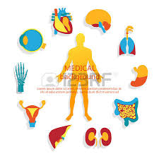 Loin Human Anatomy Kidney Images U0026 Stock Pictures Royalty Free Kidney Photos And