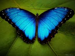 5 interesting facts about blue morpho butterflies hayden u0027s