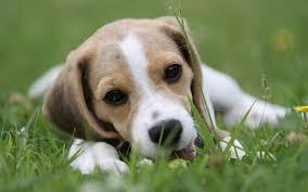 Dog Wallpapers 16 Hd Beagle Dog Wallpapers Hdwallsource Com