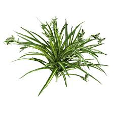 Spider Plant by Real Touch Spider Plant Bush At Home At Home
