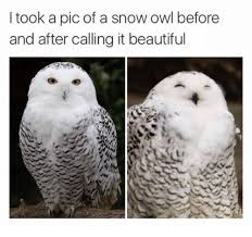 Owl Memes - i took a pic of a snow owl before and after calling it beautiful