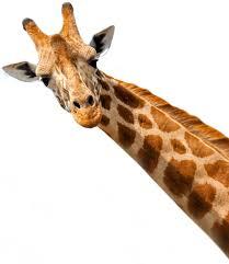 the journey of a giraffe navis u2013 the cargo company