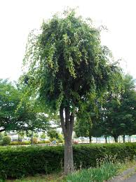 Green Vase Japanese Zelkova What Is A Zelkova Tree U2013 Learn Where To Grow Japanese Zelkova Trees