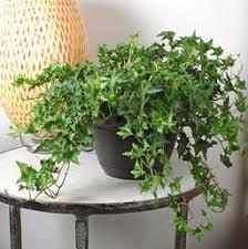 ivy costa farms