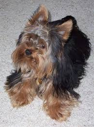 yorkie hair cut chart yorkshire terrier dog breed information and pictures yorkie