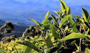 lipton u0027s ceylon the legacy of a tea tycoon u0027s sri lankan empire