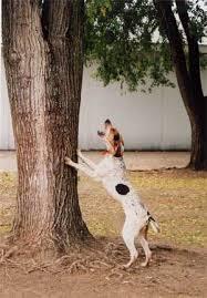 bluetick coonhound west virginia treeing walker coonhound history u0026 training temperament