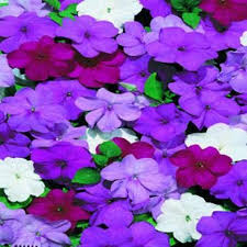 impatiens flowers impatiens flowers seeds blues mix great for shaded area container