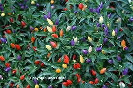 capiscum annuum sangria ornamental pepper one of my favorites
