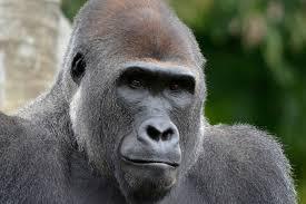 gorilla detroit zoo