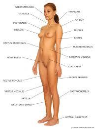 Female Anatomy Organs Female Anatomy Organs Human Anatomy Diagram