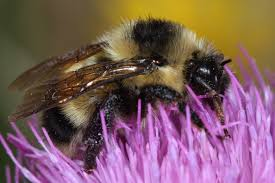 bumble bee nests bee friendly
