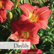 australian garden flowers five 5 best flowers to plant in spring that are big about the