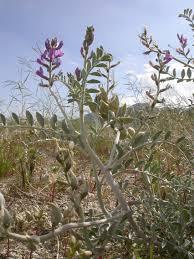 sacramento native plants conservation california native plant society