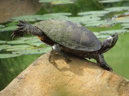 Texas Map Turtle Frog Rock Turtle Backyard And Beyond