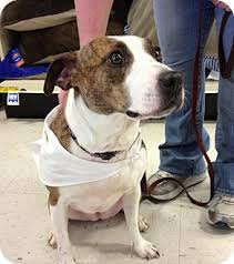 jack russell american pitbull terrier mix hope foster needed adopted dog pickerington oh jack