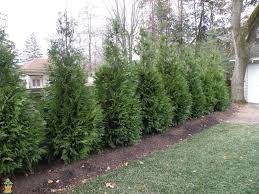 thuja green evergreen trees for sale the planting tree