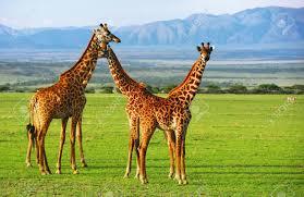 herd of giraffes images u0026 stock pictures royalty free herd of