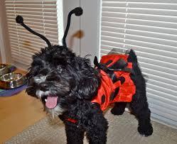 schnoodle dog halloween ladybug costume schnoodle love