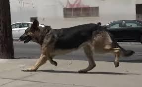 affenpinscher vs german shepherd scared german shepherd rescued with help from security guards