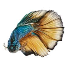 freshwater fish browse u0026 buy petco freshwater fish products petco