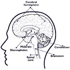 Anatomy Of The Brain And Functions Brain Anatomy Nida For Teens