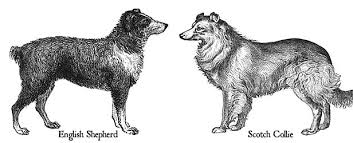 australian shepherd vocal english shepherds vs old time scotch collies