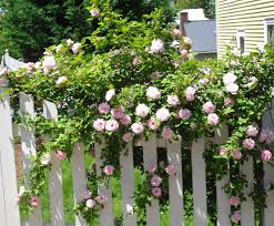 picket fences culpeper virginia white picket fence u0026 pink roses