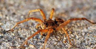 Are Spiders Attracted To Light Mobugs Wolf Spiders