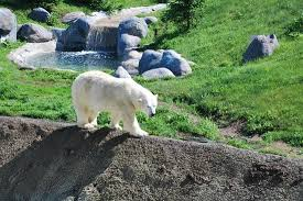 polar pacing back and forth picture of toronto zoo toronto
