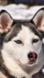 husky dog puppy snout iphone 7 wallpaper with id 6568 free